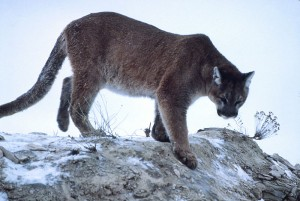Mountain lion - NPS