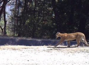 A mountain lion near the flume at Bass Lake Annex - photo by Marcia Banti - Sept. 8, 2015
