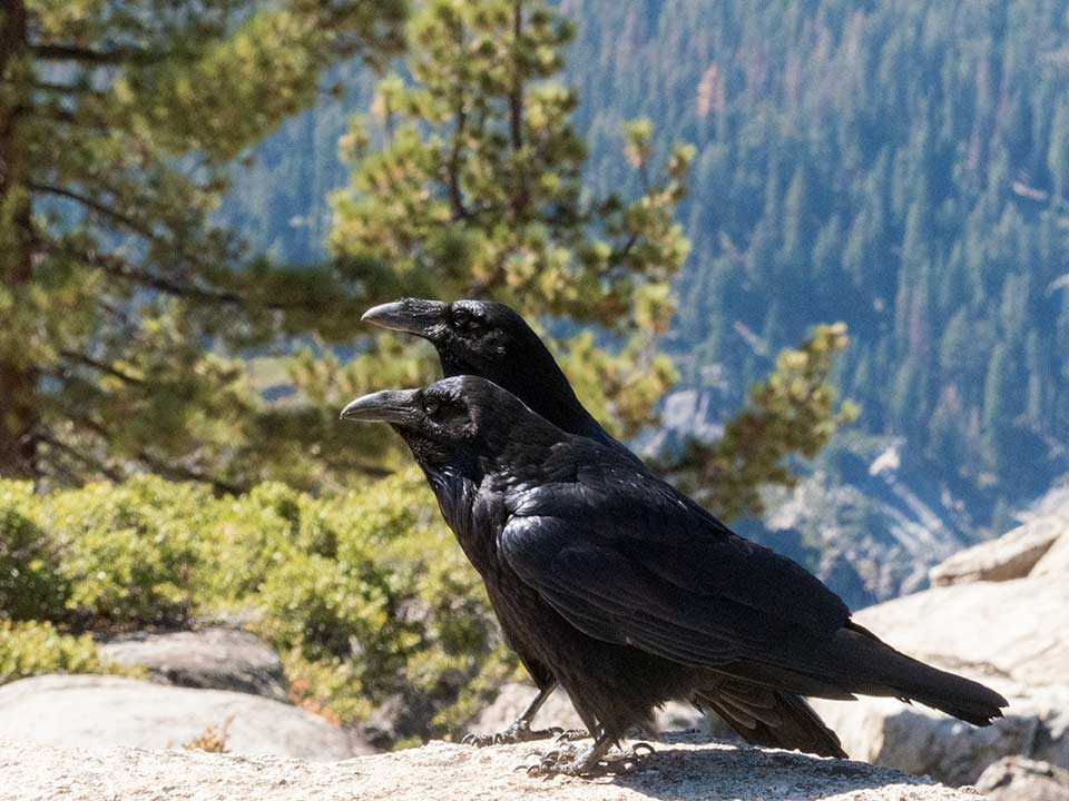 Mr. and Mrs. Raven - photo by Keith Sauer