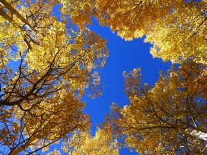 Looking at the Sky Through the Aspen Trees