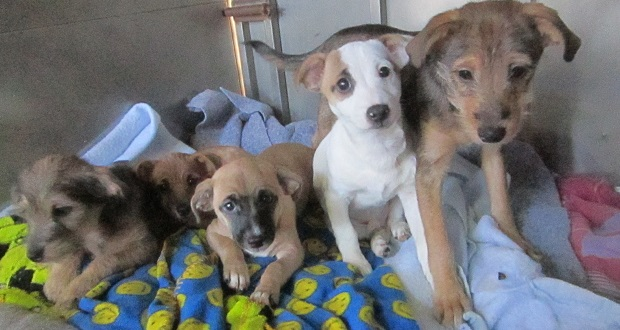 Madera Shelter Dogs Terrier Pups 2015 MSD