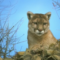Mountain Lion CDFW cougar01