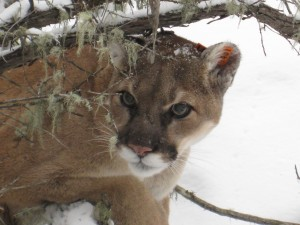 Radio-collared_Mountain_Lion credit USFWS Charles M. Russel National Wildlife Refuge and study underway to learn morejpg