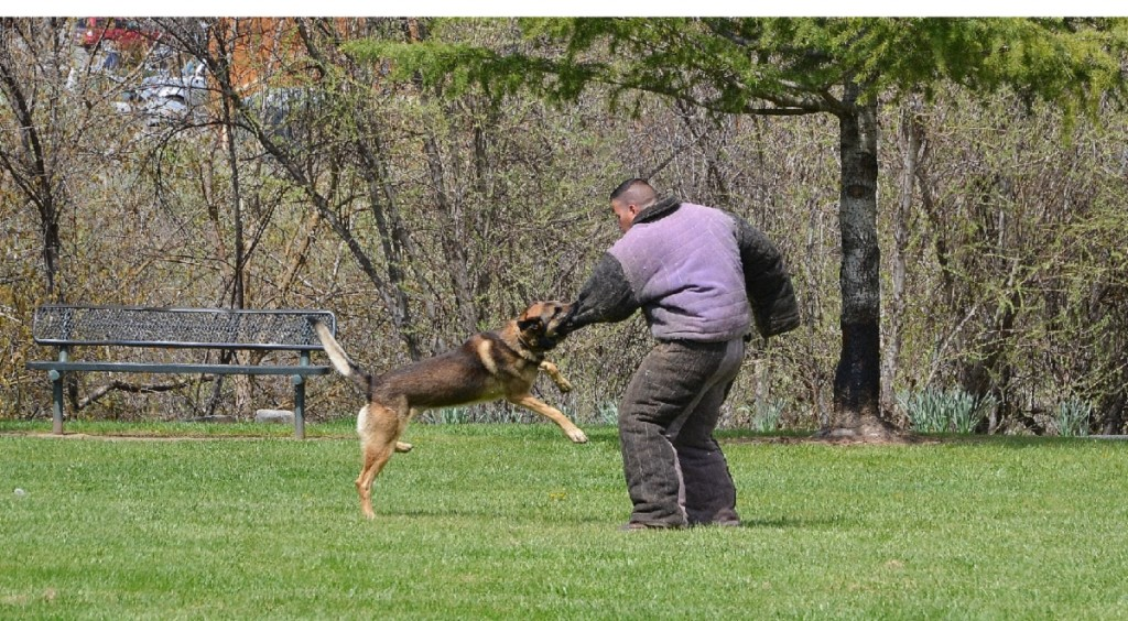 K9 Arthur bites suspect on the arm - photo by Gina Clugston