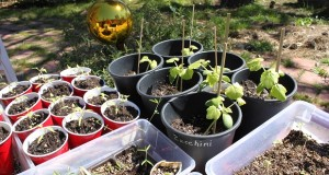 Seedlings - photo Mariposa Master Gardeners