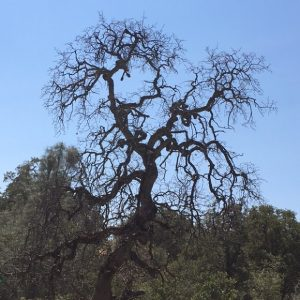 Dead Oak tree - photo courtesy Mariposa Master Gardeners