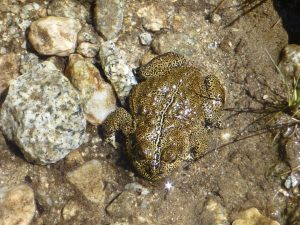 Wendy Fisher Yosemite Toad