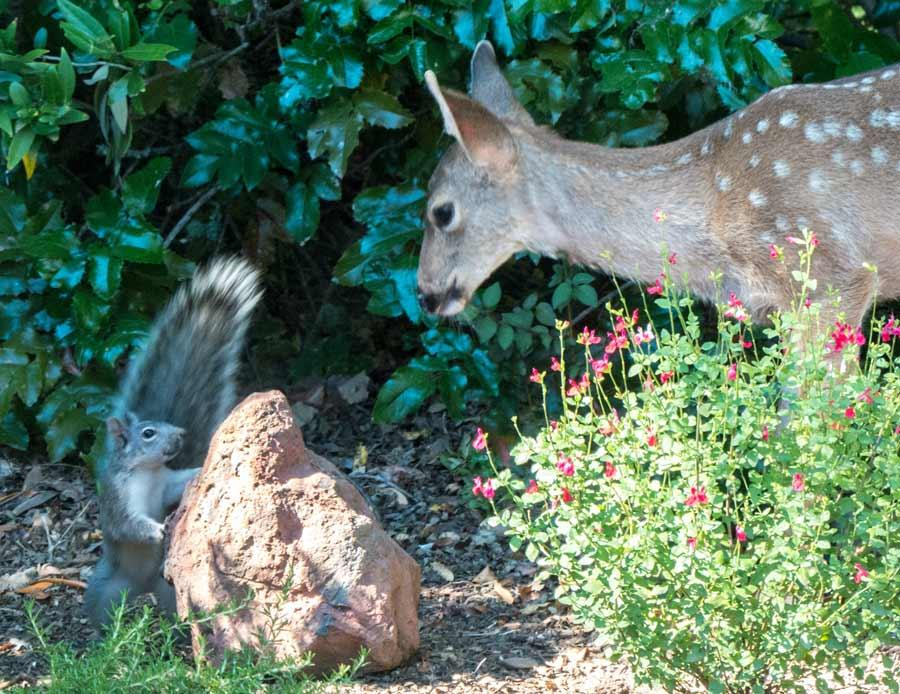 Deer and Squirrel 2 - photo by Keith Sauer