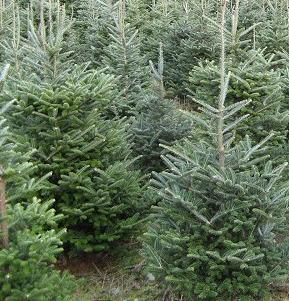 Scouts Christmas Trees At North Fork Library Sierra News