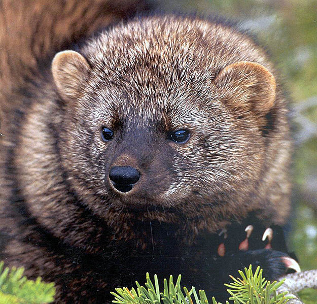 Pacific Fisher Photo by USFS Region 5 Reg
