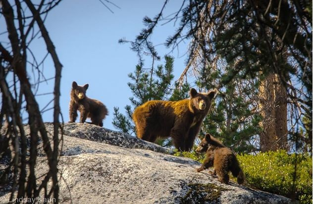 Bears in Yosemite_- Photo by Lindsay Kaun via Yosemite Conservancy