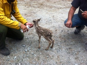 Fawn photo 3 by Rafael Sanchez - Crane Valley Hotshots July 1 2015