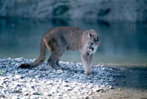 Mountain lion in Grand Teton National Park - April 2012 - NPS