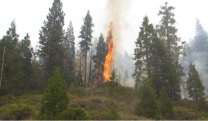 Tree torching on Rough Fire - photo SNF
