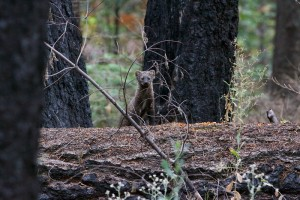 Fishers reintroduced to Yosemite Sept 15 2015 (2) Photo Credit - NPS Photo