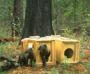 Fishers reintroduced to Yosemite Sept 15 2015 (3) Photo Credit - USFS Photo