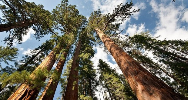 Funding For Restoration Of Mariposa Grove Of Giant Sequoias