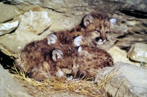 Mountain lion kittens by WL Miller Licensed under Public Domain via Wikimedia Commons and NPS