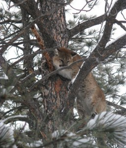 Mountain_lion_-_Charles_M_Russell_National_Wildlife_Refuge_-_Montana_-_2011-01-20 Mountain-Prairie Region. US Fish and Wildlife Service. US Department of the Interior.