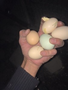 Mountain Area Chicken Chicks photo of hand holding egg by Shawna Laycock 2016