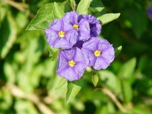Virginia Eaton July 2 SNOL Nightshade lycianthes-rantonnetii-10404