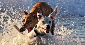 Dogs playing in water.