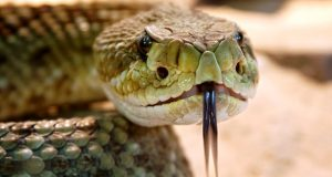 Close up of rattlesnake face.