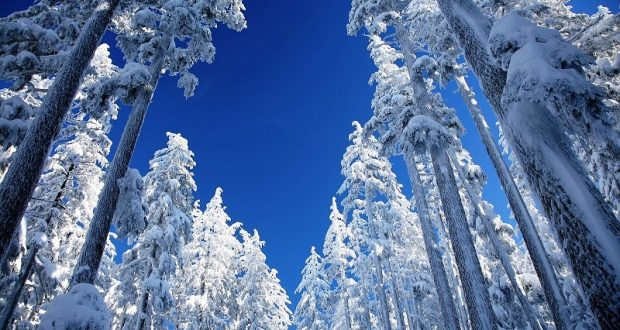 Ponderosa trees covered in snow
