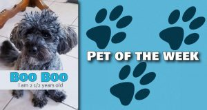 Boo-Boo the poodle dog needs a home