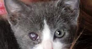 kitten with eye damage