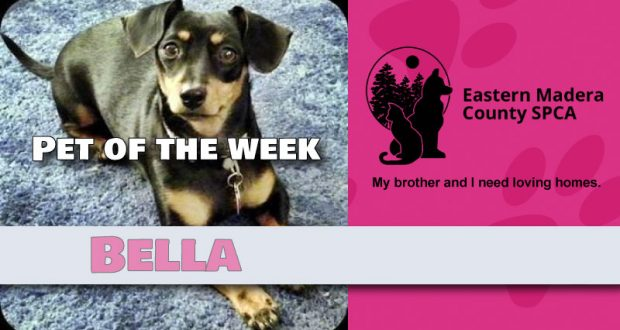 Bella the Chiweenie Dog