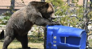 Picture of a grizzly bear attacking a trash can.