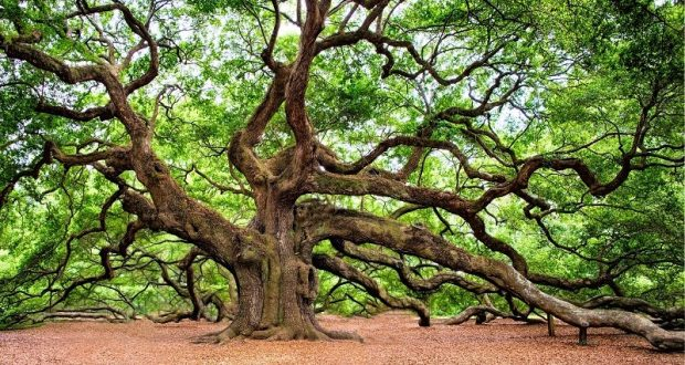 Picture of an oak tree.