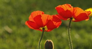 Image of California poppies.