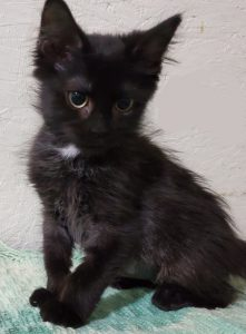 Image of a black kitten.