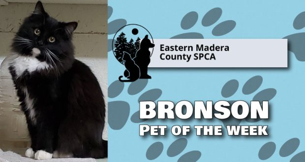 Image of Bronson the Cat, pet of the week.