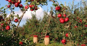 Image of an apple orchard.