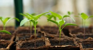 Image of a group of plant seedlings.