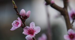Image of a peach blossom.