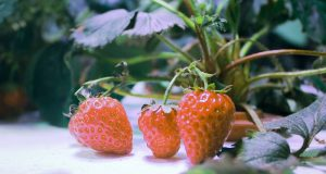 Image of hydroponically grown strawberries.