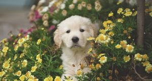 Image of a puppy surrounded by yellow flowers.