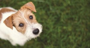 Image of a Jack Russell terrier.