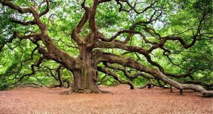 Image of a very large oak tree.