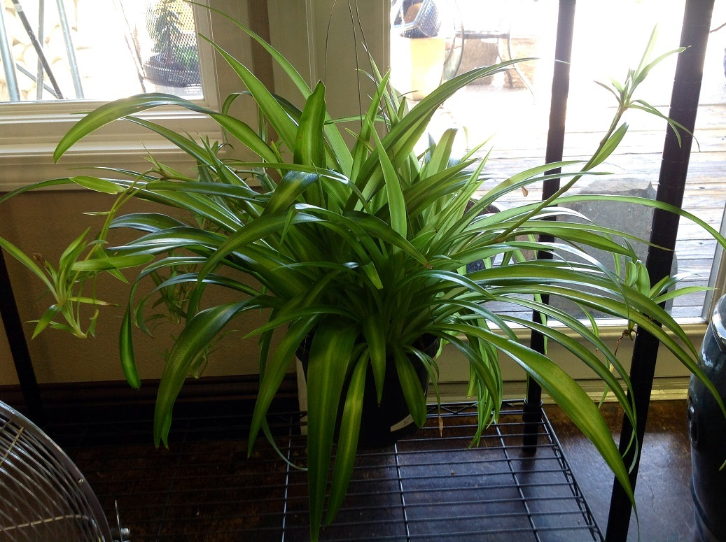 A large spider plant thriving happily and producing babies in a small 6 inch plastic pot