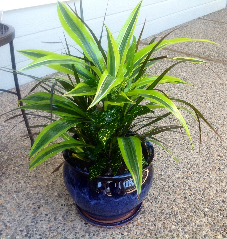 A lovely 6 inch water-when-dry dracaena-croton combo in an 8 inch pot