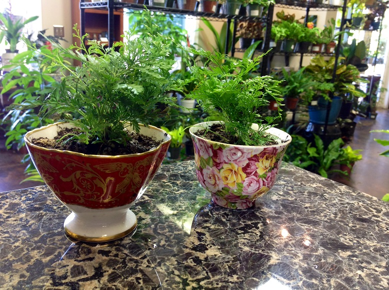 Two-inch terrarium rabbit foot ferns planted in teacups with no drainage. Water with caution