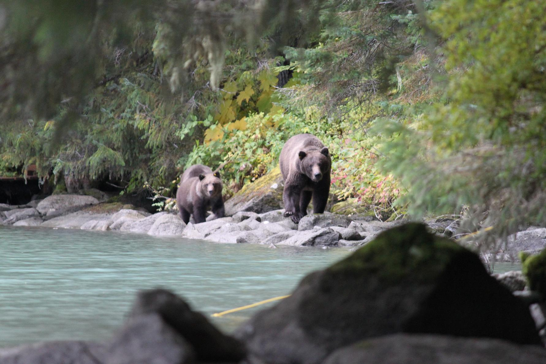 Grizzlies Headed for our Campsite