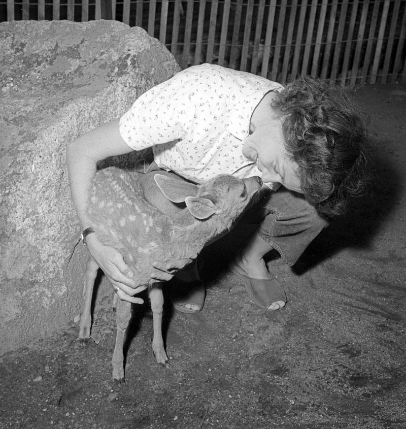 Dad would sometimes bring home animals that had been brought in that needed a loving home for a while - Mom with Tauie the little orphan mule deer. a D.H. Hubbard photograph