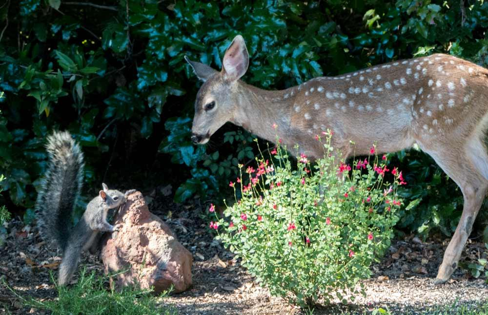 Deer and Squirrel 3 - photo by Keith Sauer