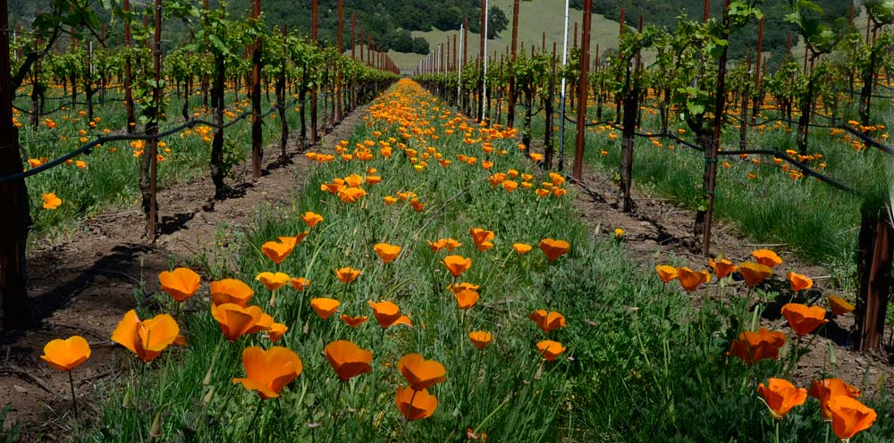 Sonoma County Wildflowers 14